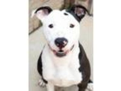 Adopt Cisco a Black American Pit Bull Terrier / Mixed dog in South Bend