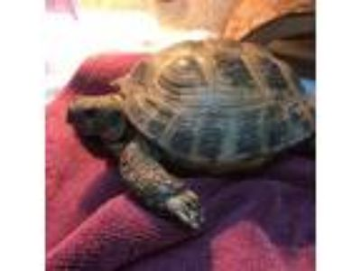 Adopt Koopa a Tortoise reptile, amphibian, and/or fish in Burlingame