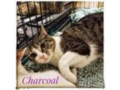 Adopt Charcoal a Domestic Short Hair