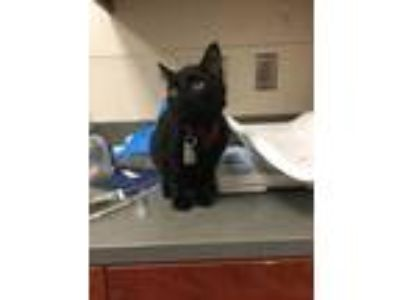 Adopt Tweety a All Black Domestic Shorthair / Domestic Shorthair / Mixed cat in
