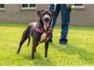 Adopt Cookie a American Staffordshire Terrier / Shar Pei / Mixed dog in