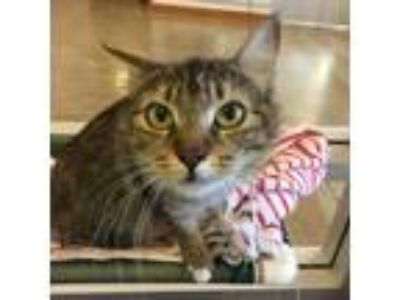 Adopt Penny a Brown Tabby Domestic Longhair / Mixed (long coat) cat in