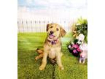 Adopt Kali a Wirehaired Terrier