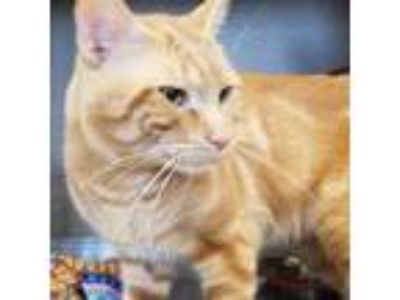 Adopt Winner a Orange or Red Domestic Shorthair / Domestic Shorthair / Mixed cat