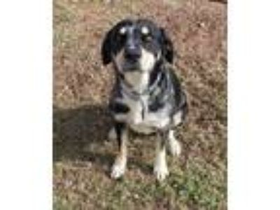 Adopt Dude a Tricolor (Tan/Brown & Black & White) Catahoula Leopard Dog /