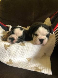 Bulldog PUPPY FOR SALE ADN-91347 - 2 black tri males available