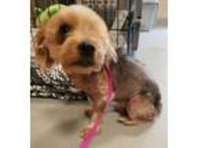 Adopt Iris a Yorkshire Terrier, Mixed Breed