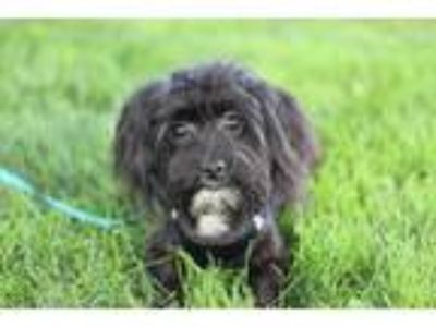 Adopt Willow a Black - with White Miniature Poodle / Shih Tzu / Mixed dog in New