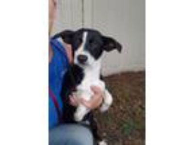 Adopt Gold a Border Collie, Cattle Dog