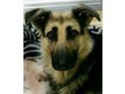 Adopt Sasha a Tan/Yellow/Fawn German Shepherd Dog / Mixed dog in Visalia