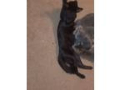 Adopt Orchid a All Black American Shorthair cat in Wylie, TX (25739478)