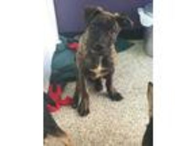 Adopt Harper a Brindle Great Dane / Shepherd (Unknown Type) / Mixed dog in