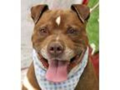 Adopt Taz a Pit Bull Terrier, Mixed Breed