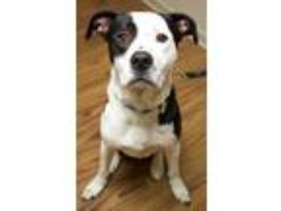 Adopt Jake a White Labrador Retriever / Hound (Unknown Type) / Mixed dog in