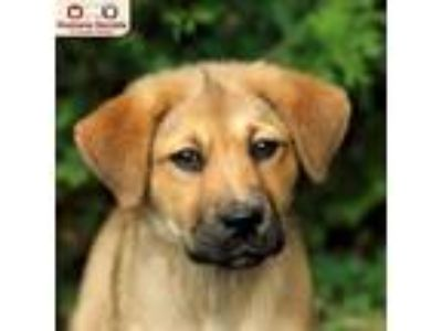 Adopt Lovey a Tan/Yellow/Fawn Shepherd (Unknown Type) / Collie / Mixed dog in