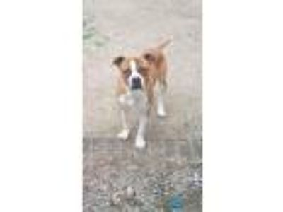 Adopt Chase a Boxer, Pit Bull Terrier