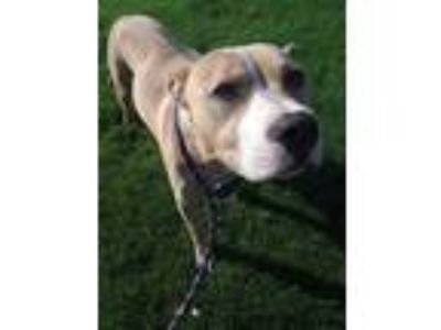 Adopt CORAL a Tan/Yellow/Fawn - with White Mixed Breed (Medium) / Mixed dog in