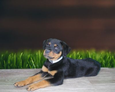 Dakota is a purebred female Rottweiler