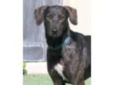 Adopt Indiana a Brown/Chocolate Retriever (Unknown Type) / Mixed dog in