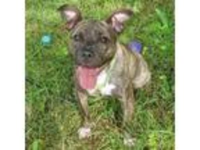 Adopt Gem a Brindle Boxer / Mixed dog in Spring City, PA (22863090)