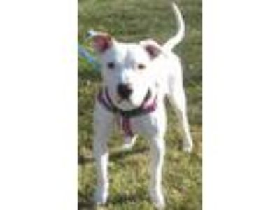 Adopt Trudy a American Staffordshire Terrier, Pit Bull Terrier
