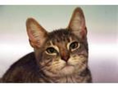 Adopt STEVE FROM ACCOUNTING a American Shorthair