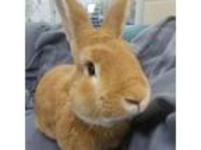 Adopt Bucky a American rabbit in Evansville, IN (25263230)