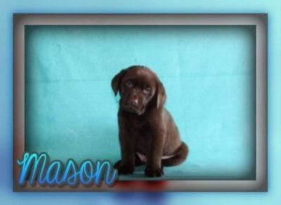 Mason Male AKC Chocolate Labrador