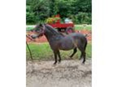 Adopt Chase a Miniature Horse