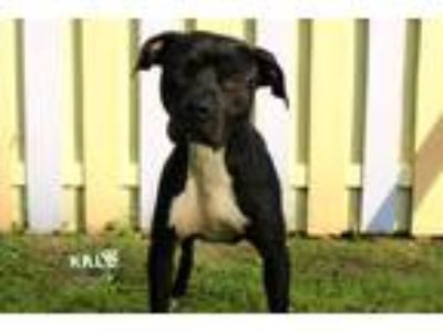 Adopt Saxon a Pit Bull Terrier / Mixed dog in Sebastian, FL (25123816)