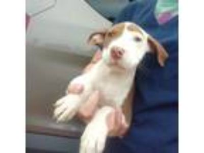 Adopt Booker a American Staffordshire Terrier, Beagle