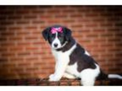 Adopt Bess a Black - with White Great Pyrenees / Border Collie / Mixed dog in