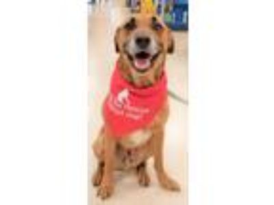 Adopt Guster a Tan/Yellow/Fawn Labrador Retriever / Shepherd (Unknown Type) /