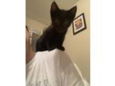 Adopt Reggie the shoulder riding kitten! a Domestic Short Hair