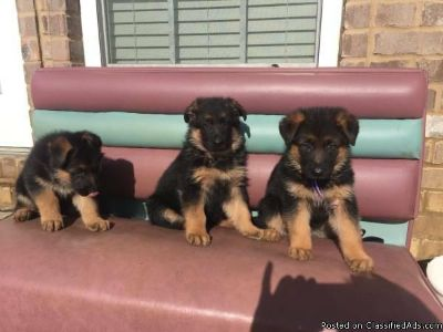 German Shepherd Puppies Akc Registered