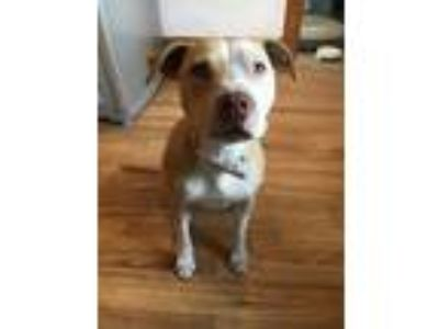 Adopt Rousey a White - with Brown or Chocolate American Pit Bull Terrier / Mixed