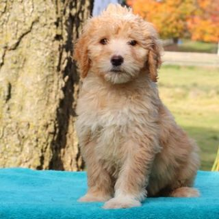Goldendoodle PUPPY FOR SALE ADN-106527 - Family Raised