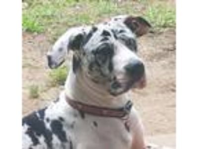 Adopt Beau a White - with Black Great Dane / Mixed dog in Cross Roads