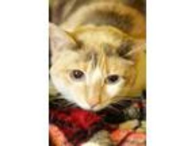 Adopt Leonna a White Domestic Shorthair / Domestic Shorthair / Mixed cat in
