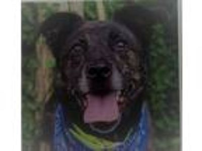 Adopt Rescue Buddy a Brindle Labrador Retriever / Mixed dog in Batavia