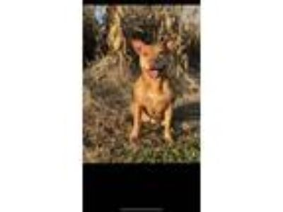 Adopt Jazmine a Pit Bull Terrier