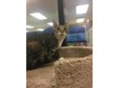 Adopt Gnar a Brown Tabby Domestic Shorthair (short coat) cat in Kennesaw