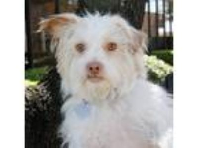 Adopt Freddie a White Terrier (Unknown Type, Small) / Mixed dog in Carrollton
