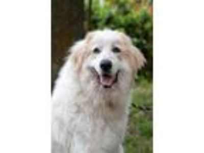 Adopt Althea a White - with Tan, Yellow or Fawn Great Pyrenees / Mixed dog in