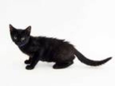 Adopt JASPER a All Black Domestic Shorthair / Mixed (short coat) cat in St.