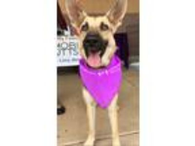 Adopt Macy a German Shepherd Dog