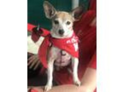 Adopt Katrina a Brown/Chocolate - with White Jack Russell Terrier / Rat Terrier