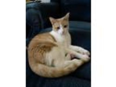 Adopt Teddy a Domestic Short Hair