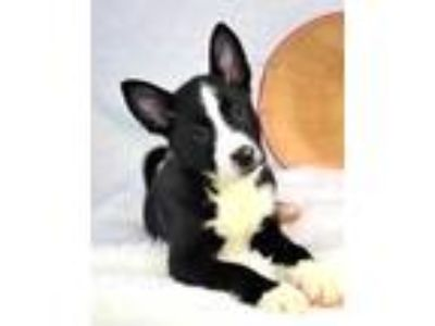 Adopt Baldwin a Cattle Dog, Border Collie