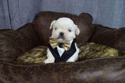 Shih Tzu PUPPY FOR SALE ADN-109283 - RARE Imperial Blue Eyes Shih Tzus